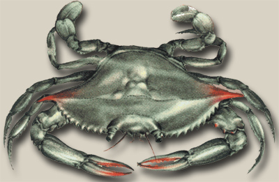 "The Maryland Blue Crab (Callinectes sapidus) or ""Beautiful Swimmer"""